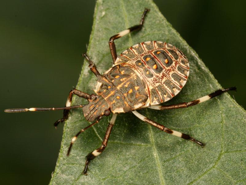 Spinazz la rete monofila contro la cimice asiatica for Cimice insetto